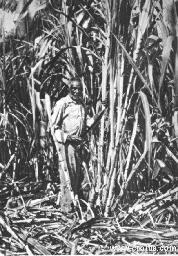Sjekač šećerne trske. Najveći dio stanovništva kolonija i manje razvijenih zemalja bio je zaposlen na poslovima nabave sirovina za užurbani industrijski stroj zapadnih država ili u proizvodnji poljoprivrednih proizvoda. To vrijedi i za ovog sjekača šećerne trske.