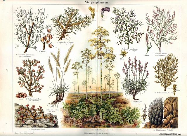 Steppenpflanzen / Stepske biljke